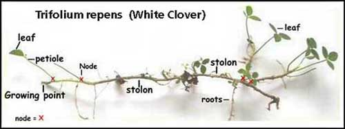 Clover Growing Image